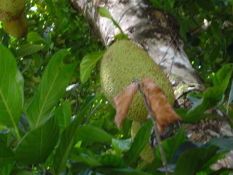 Jackfruit Free Public Domain Cc0 Image