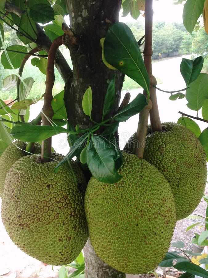 Jackfruit is a large perennial plant. In the same family as sake, 15-30 meters tall. Stems and branches when wound, there will be. Jackfruit is a large perennial royalty free stock photography