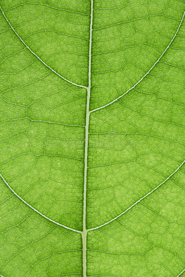 Jackfruit leaf stock image