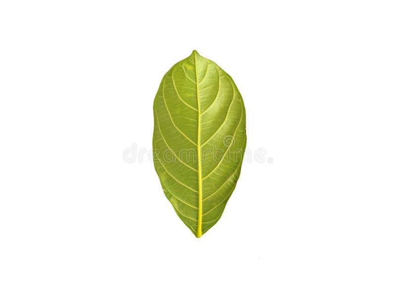 Jackfruit leaves isolated on white background stock images