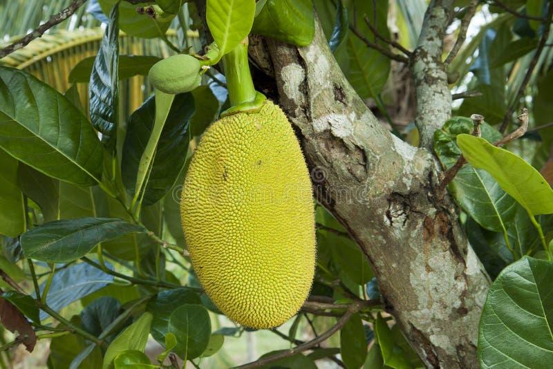 Jackfruit maduro na folha verde ?rvore de Jackfruit Fruto tropical, ramos e folhas grandes imagem de stock royalty free