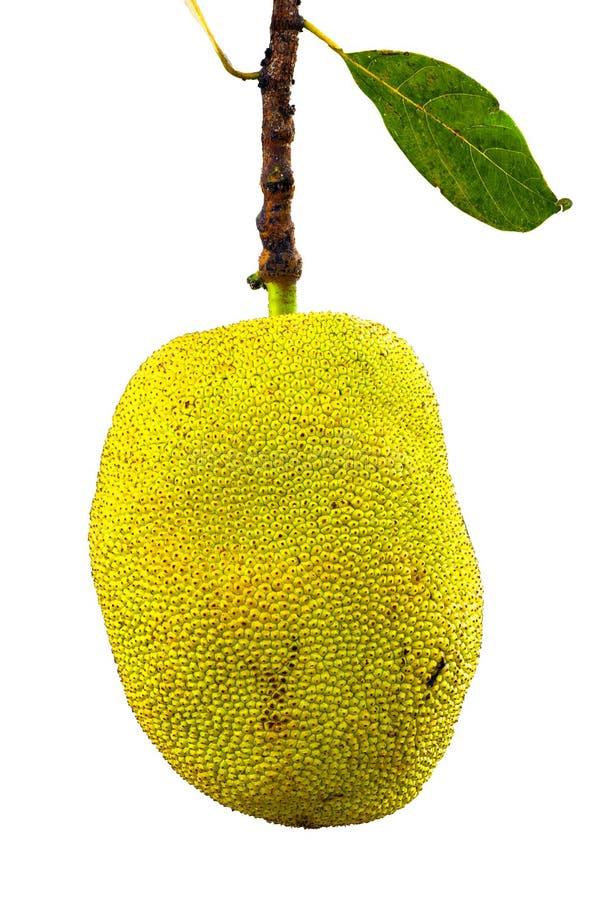 Jackfruit med leave royaltyfria bilder