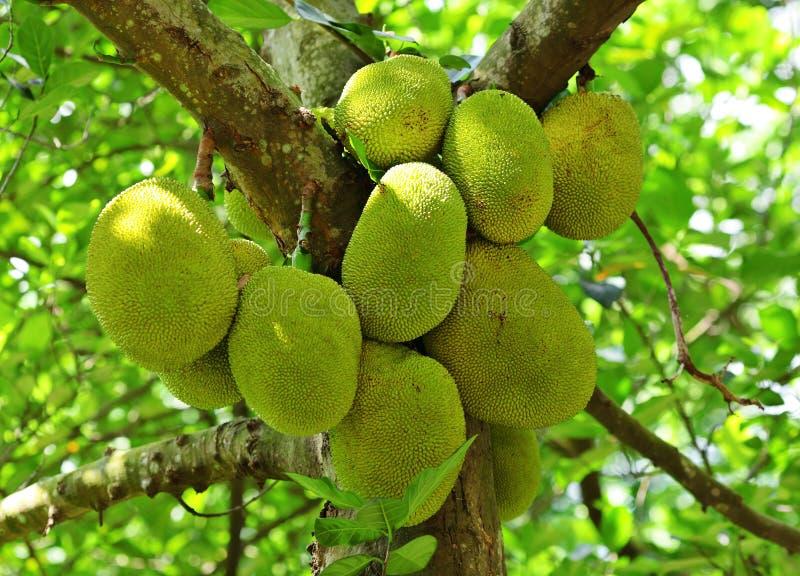 Jackfruit na drzewie zdjęcia stock