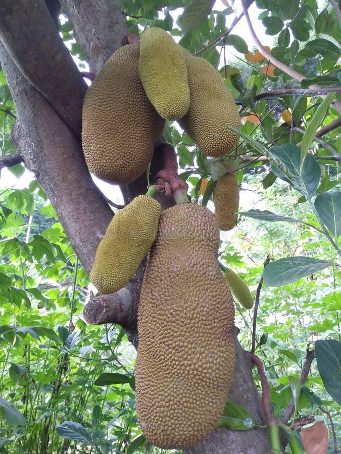 jackfruit novo esse ainda aderir-se às árvores imagem de stock