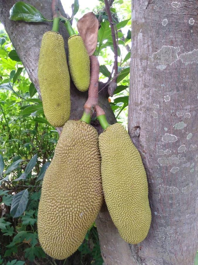 jackfruit novo esse ainda aderir-se às árvores imagens de stock royalty free