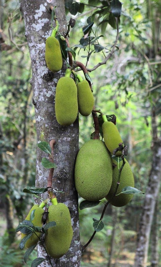 Jackfruit op een boom royalty-vrije stock foto