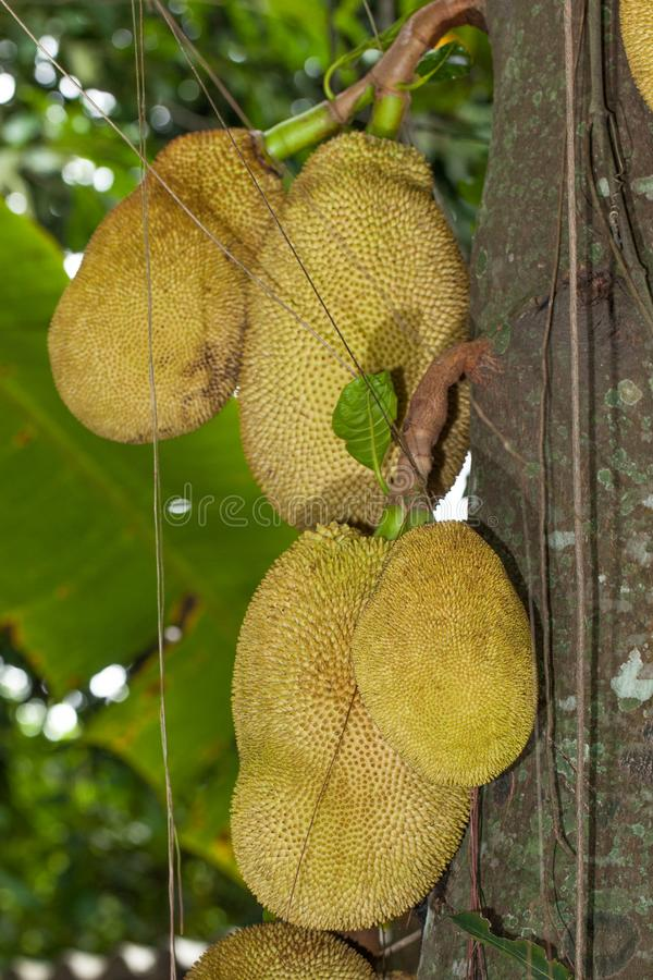 Jackfruit op een hefboomboom Ook genoemd geworden Jaca fruit in Brazilië stock foto