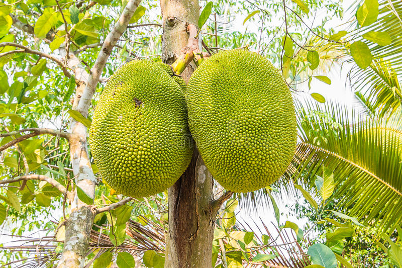 Jackfruit in orchard royalty free stock photo