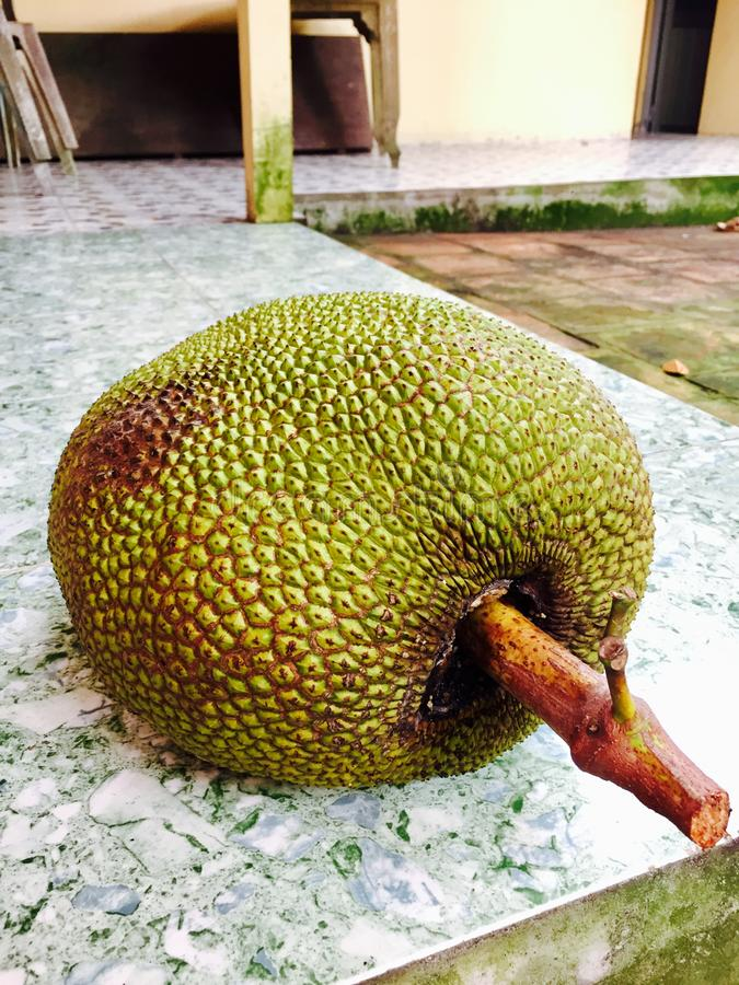 A jackfruit. At rural house in Mekong Delta, Vietnam royalty free stock photography