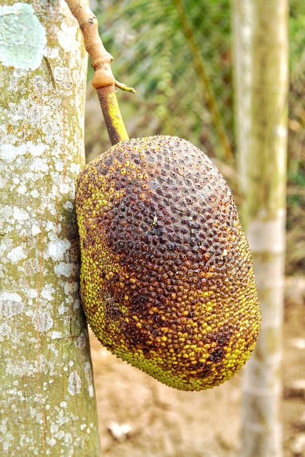 Jackfruit sull'albero fotografie stock