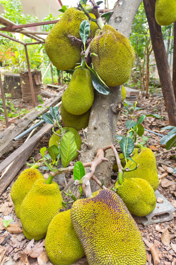 Download Jackfruit on the tree stock image. Image of branch, food - 26406955