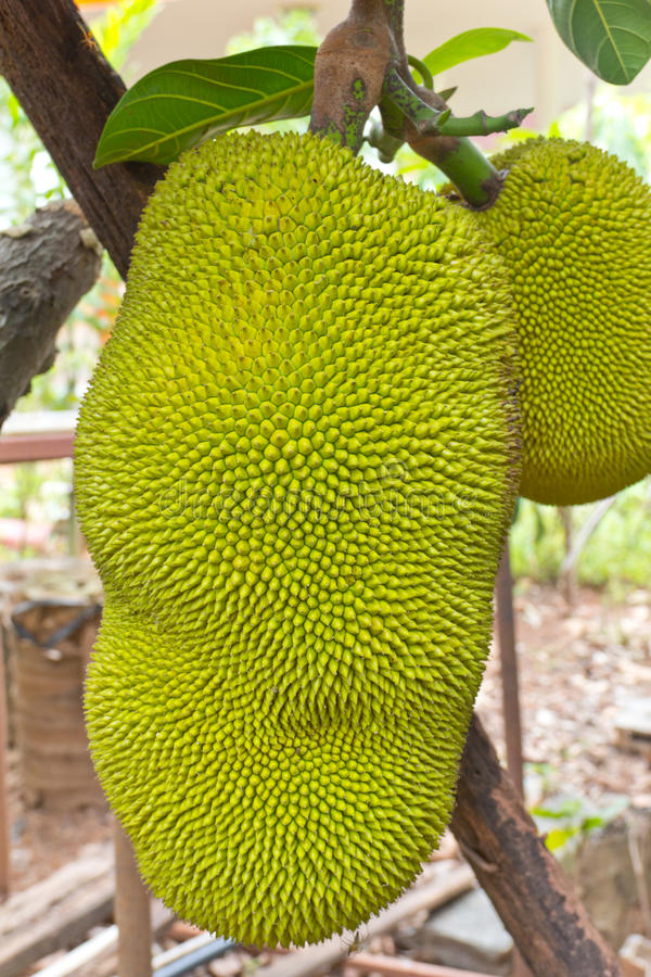 Download Jackfruit on the tree stock photo. Image of thailand - 26407042