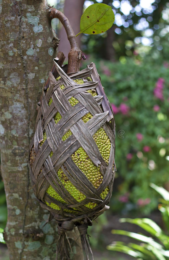 Download Jackfruit On The Tree Royalty Free Stock Images - Image: 27345749
