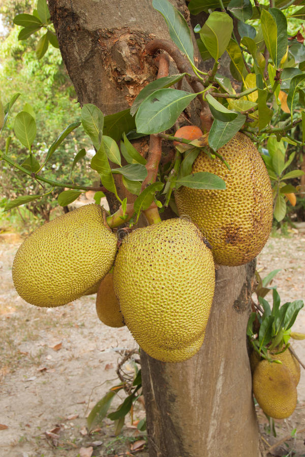 Jackfruit tree. With the fruit stock photos
