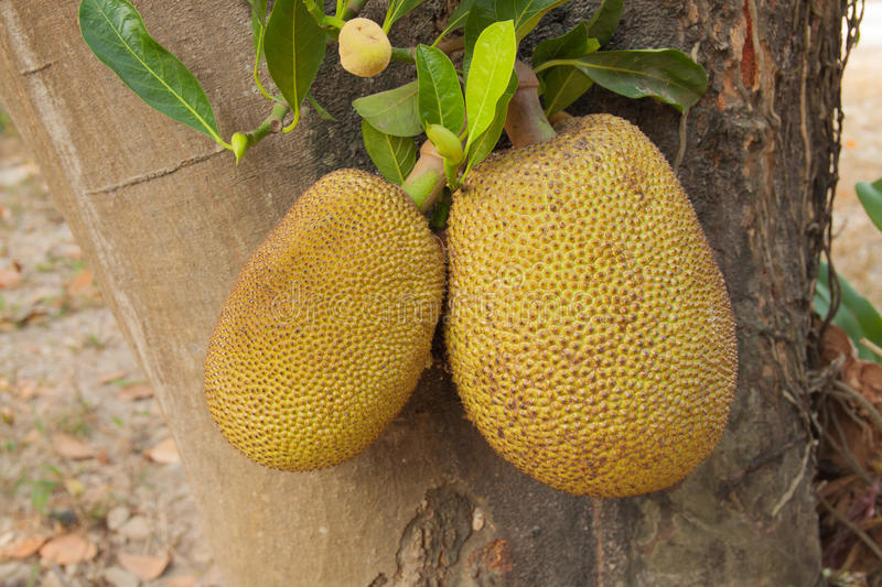 Jackfruit tree. With the fruit royalty free stock photos
