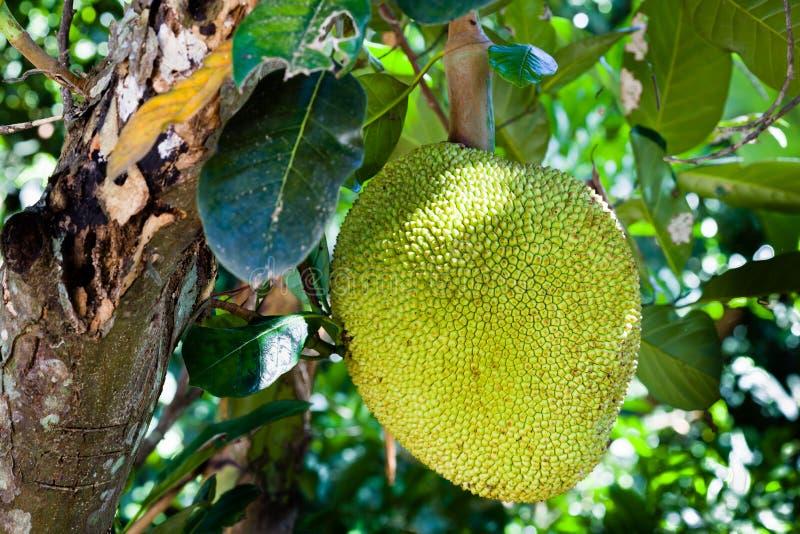 Jackfruit on the tree stock photo