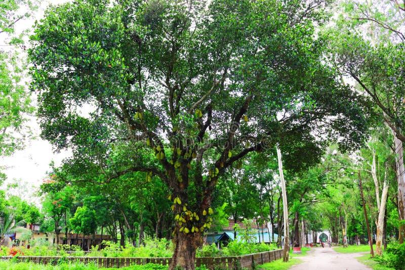 Jackfruit on tree. Huge jack fruit gowing in tree.jackfruit fruits fresh tree organic closeup beautiful garden green leaf.Very big. Jack fruit tree with fruits stock photo