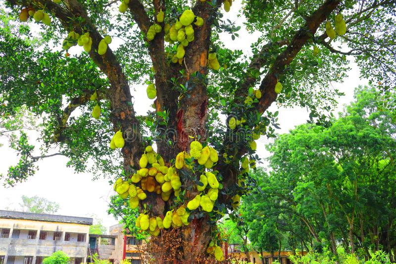 Jackfruit on tree. Huge jack fruit gowing in tree.jackfruit fruits fresh tree organic closeup beautiful garden green leaf.Very big. Jack fruit tree with fruits stock images