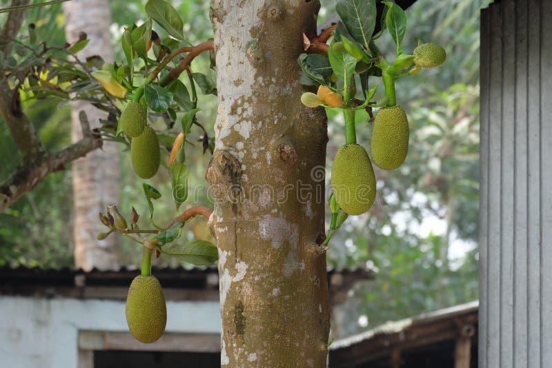Jackfruit tree stock image