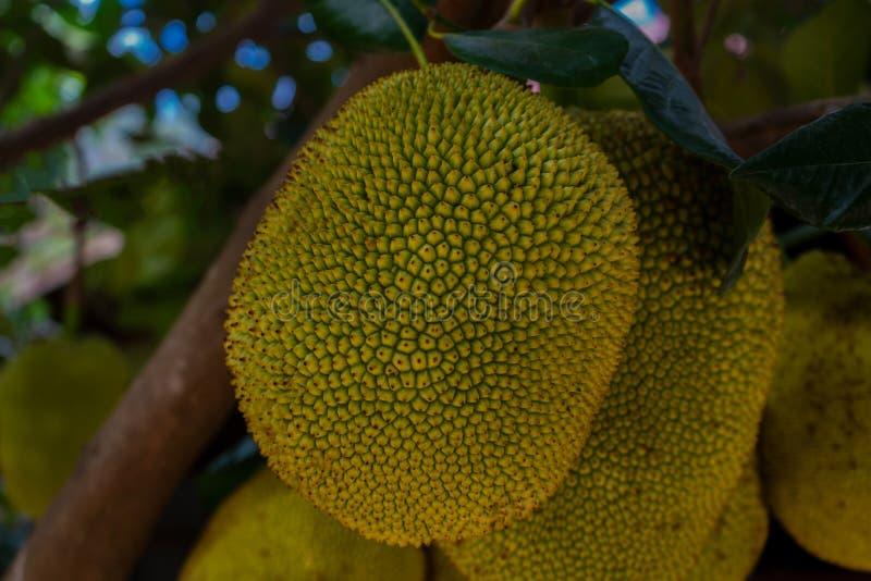 Jackfruit tropical en el árbol fotografía de archivo libre de regalías