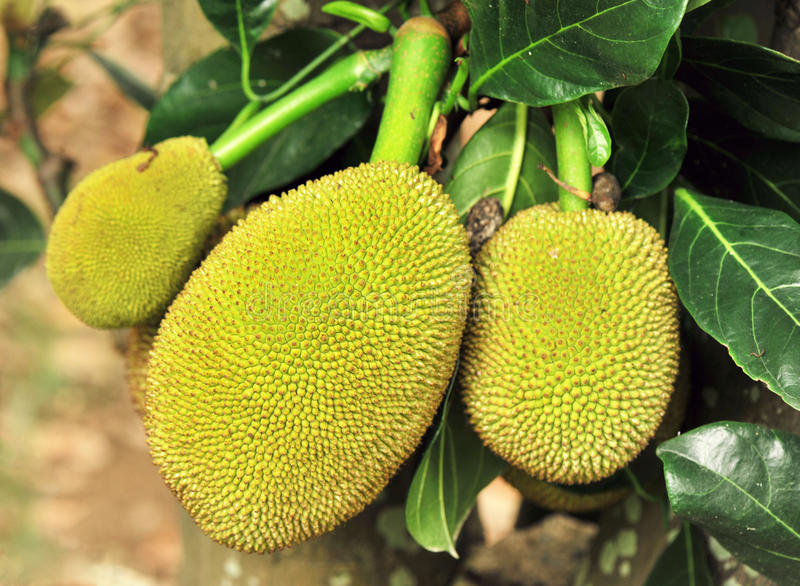 Download Jackfruits stock image. Image of forest, plant, field - 25178551