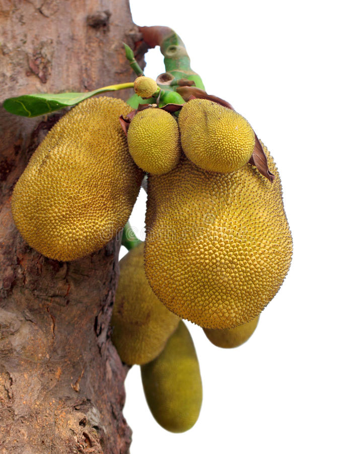 Download Jackfruits stock image. Image of kanun, background, healthy - 25775959