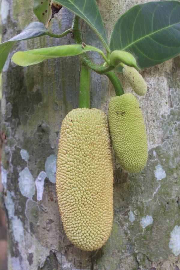 Jackfruits Stock Photography