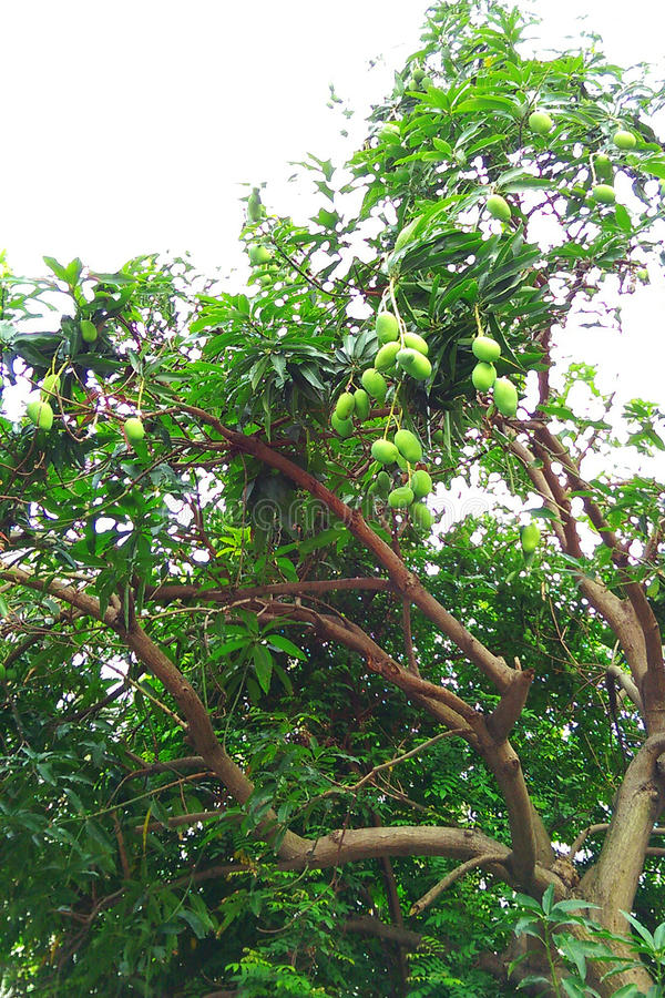 Jackfruits hanging from tree