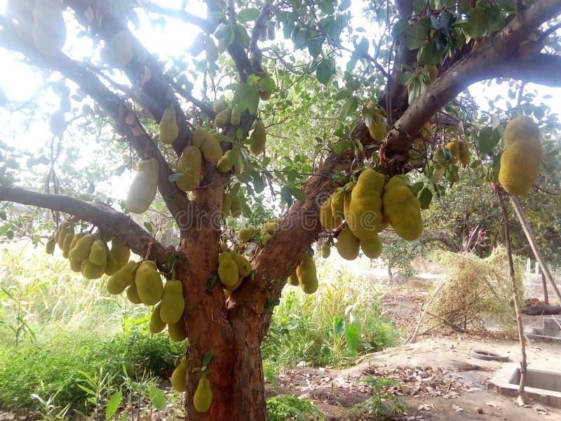 Jackfruits stock photo