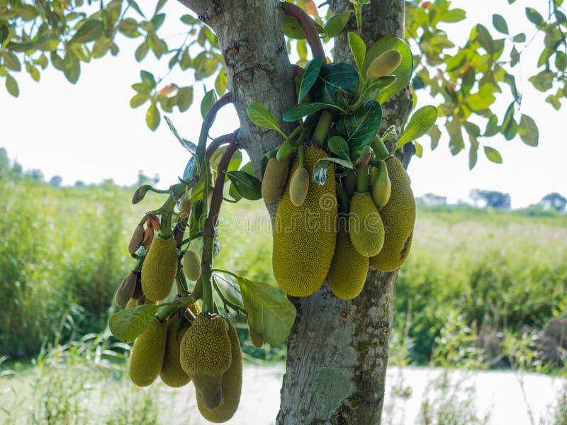 Jackfruits novos verdes que crescem na árvore no jardim fotos de stock