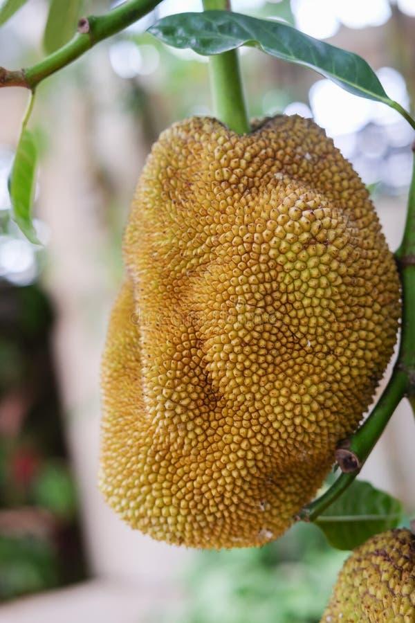 Jackfruits på ett träd arkivfoto