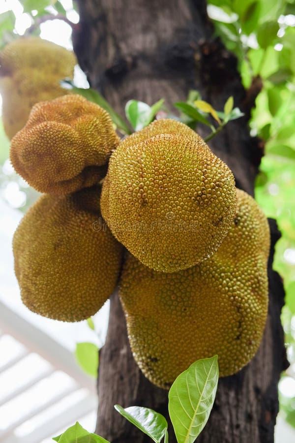 Jackfruits på ett träd royaltyfri bild