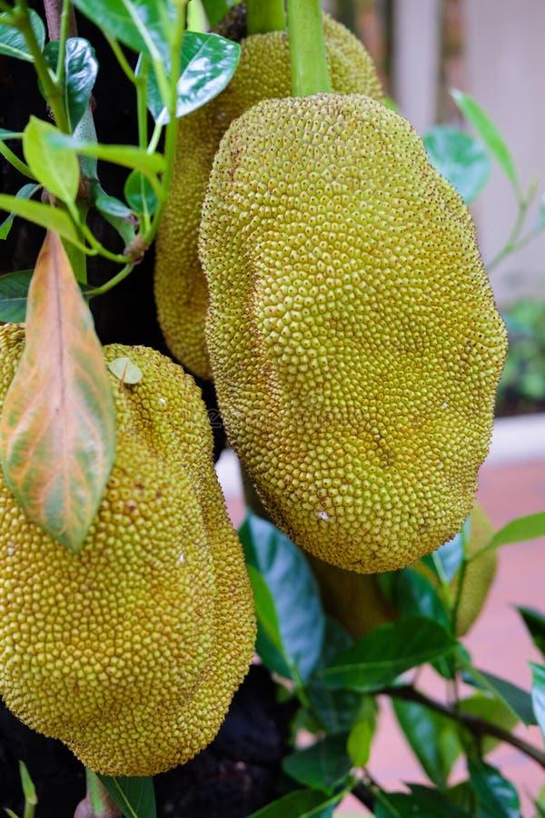 Jackfruits på ett träd royaltyfria bilder