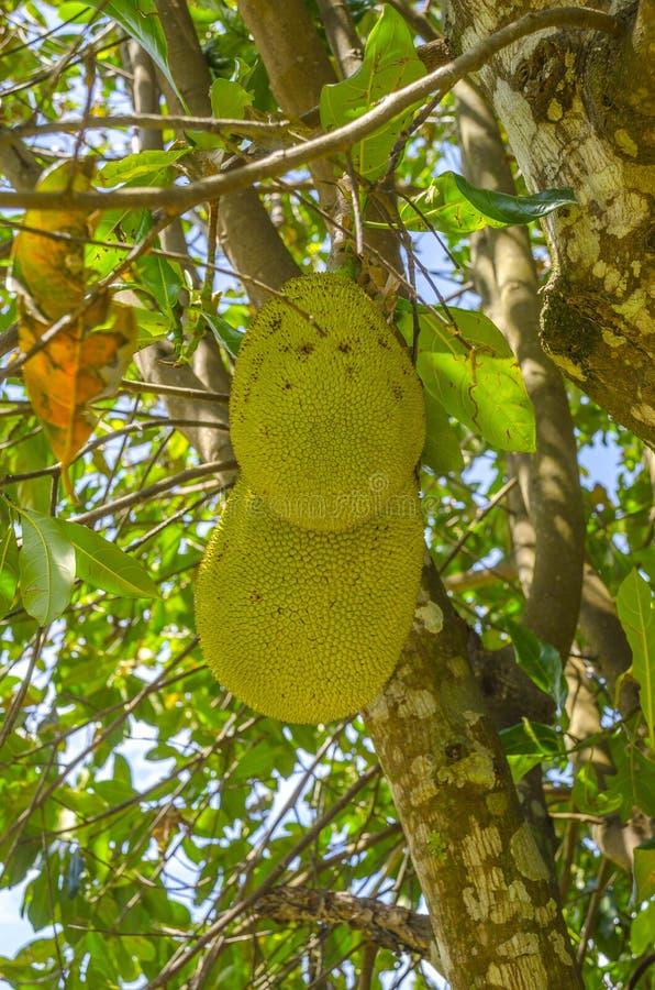 Jackfruits på trädet arkivfoton