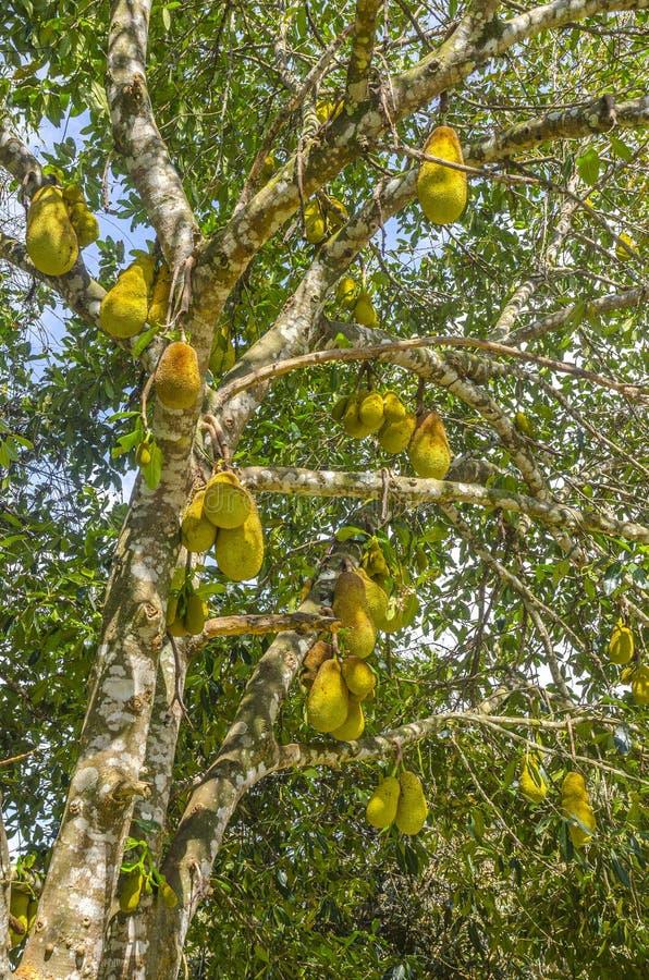 Jackfruits på trädet arkivbilder