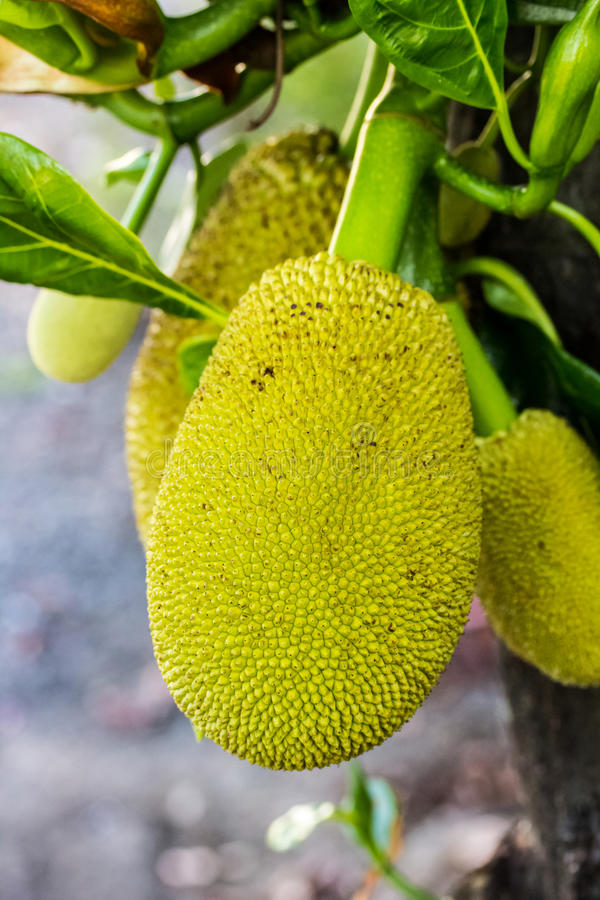 Jackfruits beside a tree. In a garden stock images