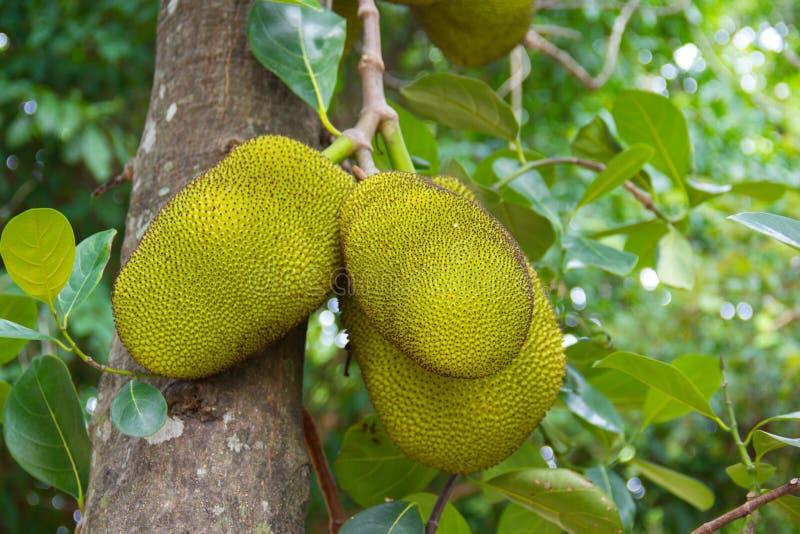 Jackfruits on the tree. Jackfruits on the tree in the garden royalty free stock photos