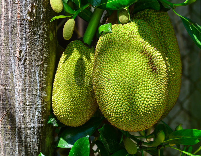 Jackfruits on the tree. At garden in Mekong Delta, Vietnam royalty free stock photography
