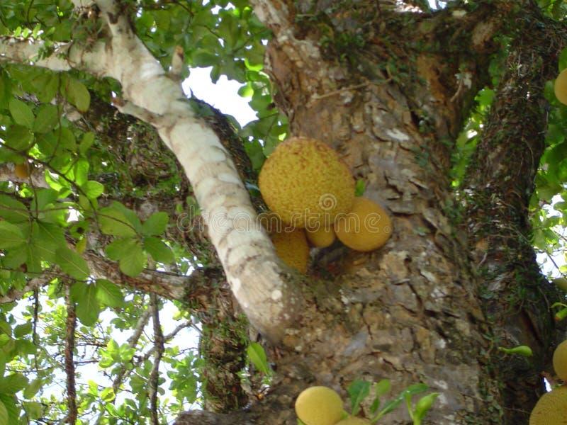 Jackfruits in a tree royalty free stock photo