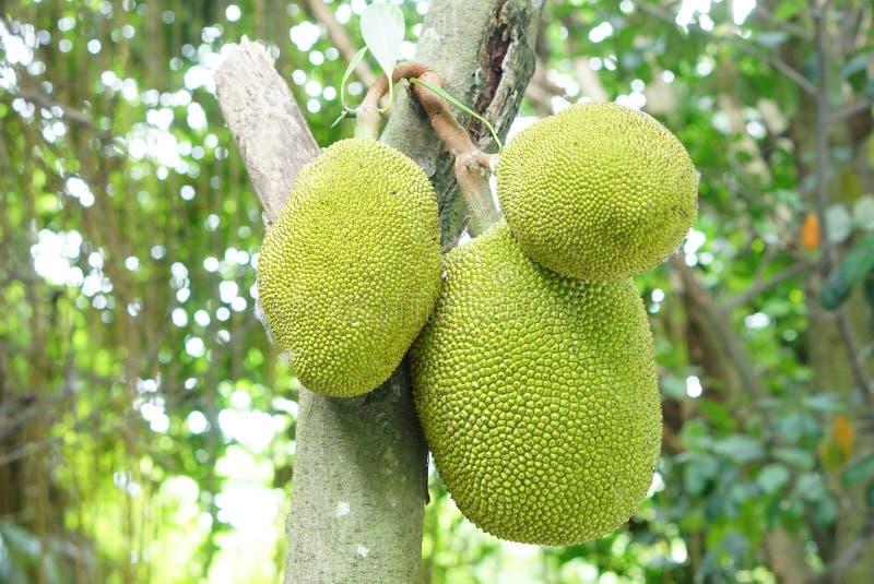 Jackfruits on the tree. In plantation royalty free stock photo