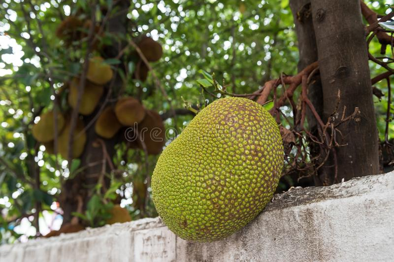Jackfruits on tree at tropical farm. Young Jackfruits on tree near white fence. Tropical farm agriculture in Thailand royalty free stock images