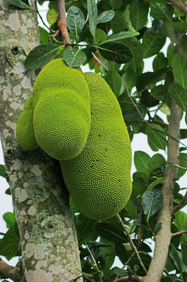 Jackfruits w Uganda obrazy stock