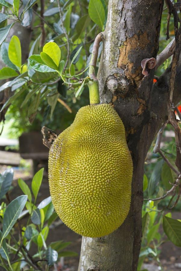 Jackfruitträd och barn Jackfrui arkivfoton