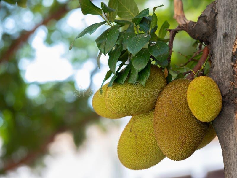 Jackfruittr?d och ung JackfruitsArtocarpus heterophyllus Jackfruiten ?r l?cker s?t frukt arkivbild
