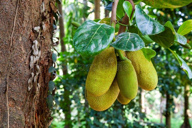 Jackfruittr?d med mogna frukter fotografering för bildbyråer