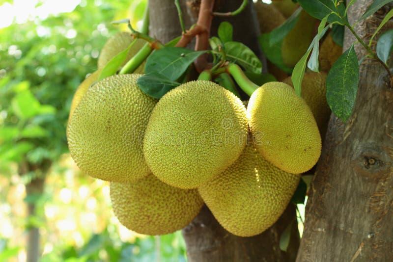 Jackfruittr?d royaltyfri bild