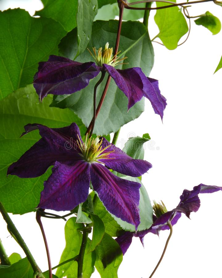 Jackmanii Clematis purple blooms add color to garden. Clematis `Jackmanii` is a Clematis cultivar which, when it was introduced in 1862, was the first of the royalty free stock photography