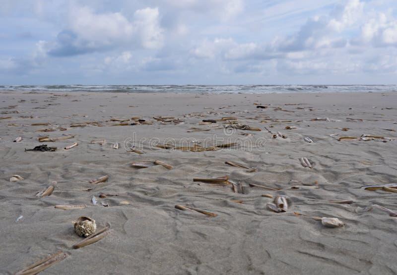 Jacknife or razor clams on beach stock image