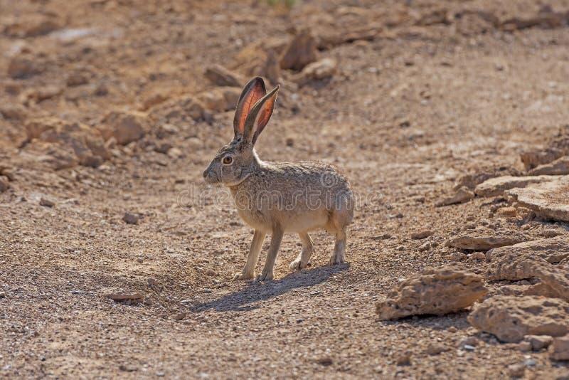 Jackrabbit munito nero nel deserto fotografia stock libera da diritti