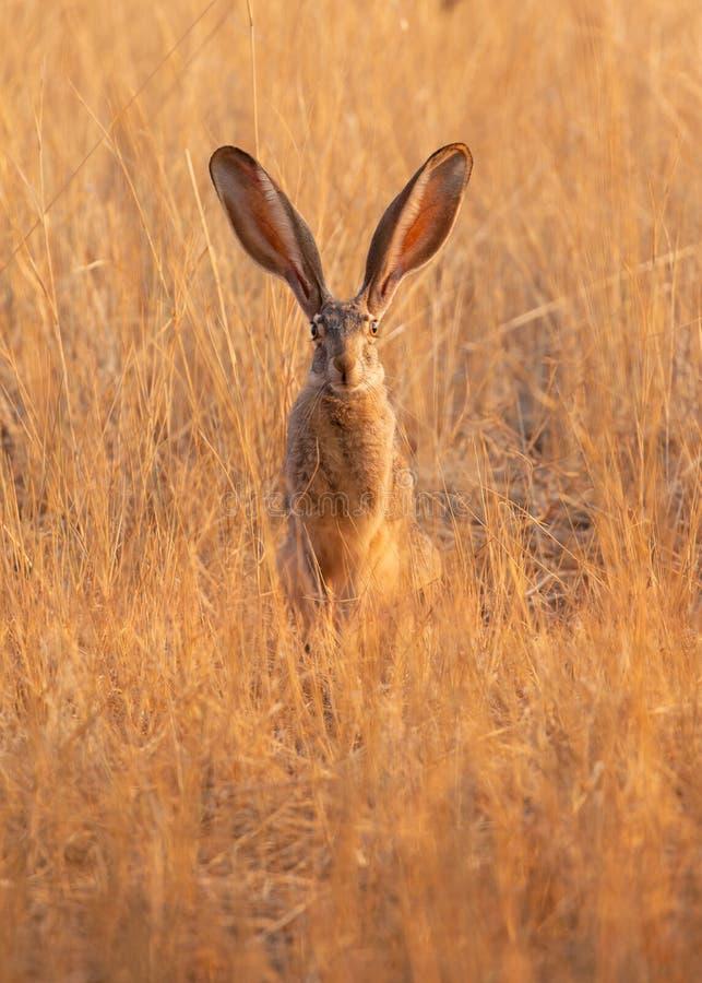 Jackrabbit que se sentaba en el sol de la mañana en un campo del oro coloreó la hierba seca con él los oídos largos del ` s para  fotos de archivo libres de regalías